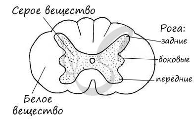 Белое и серое вещество спинного мозга