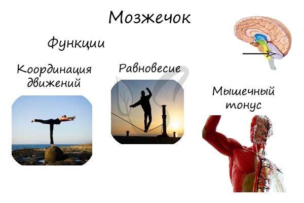 Функции мозжечка