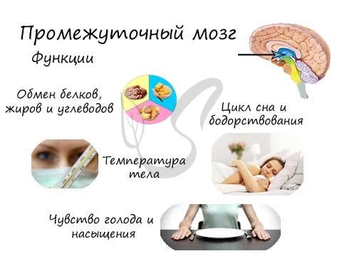 Функции промежуточного мозга
