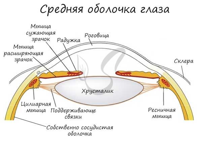 Средняя оболочка глаза
