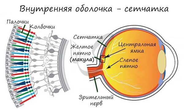Сетчатка внутренняя оболочка глаза