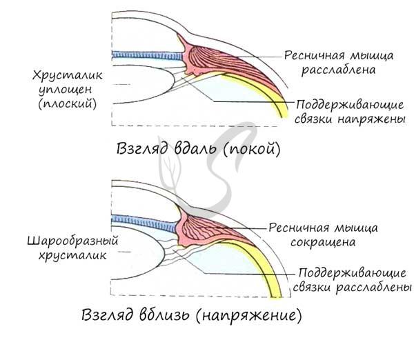 Ресничная мышца