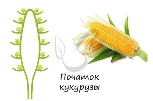 Соцветие початок кукурузы