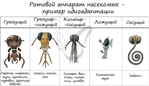 Пример идиоадаптации - ротовые аппараты насекомых