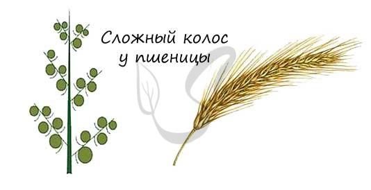 Сложный колос пшеницы