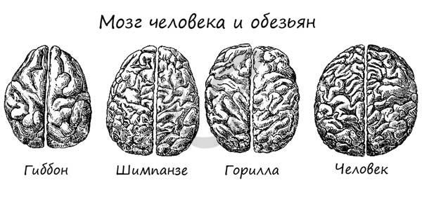 Мозг человека и обезьян