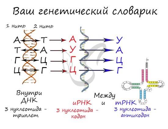 Перевод РНК в ДНК