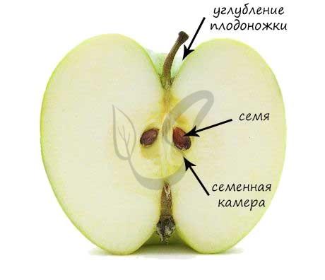Строение яблока