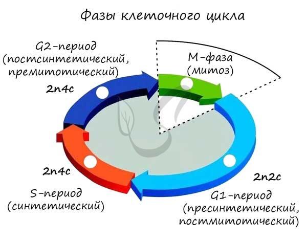 Фазы клеточного цикла