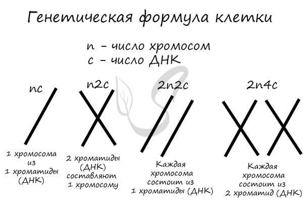 Генетическая формула клетки