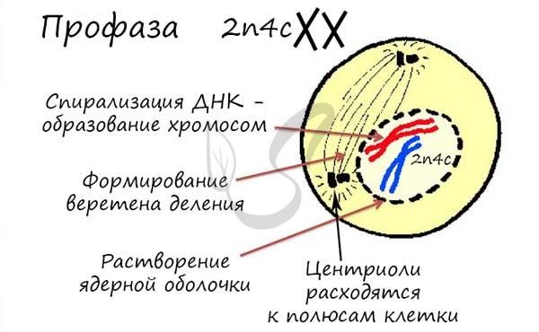 Профаза митоза