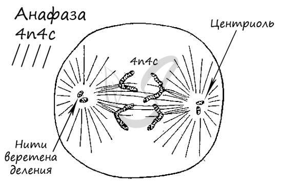 Анафаза митоза