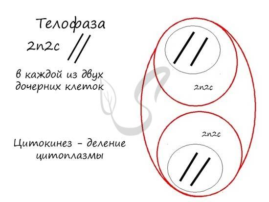 Телофаза митоза