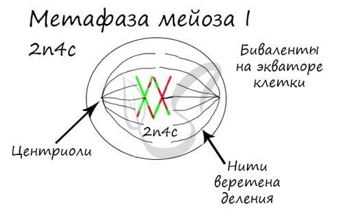 Метафаза мейоза I