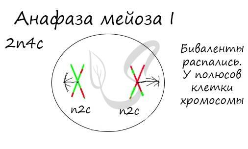Анафаза мейоза I