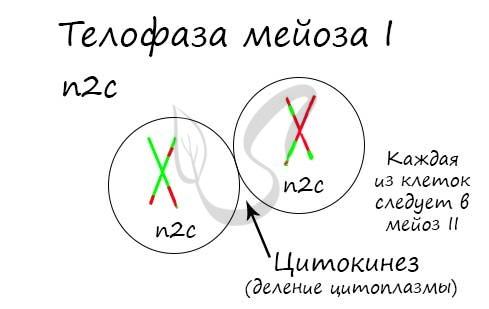 Телофаза мейоза I