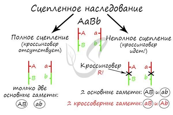 Решение задач на кроссинговер по биологии налоги задачи и их решение