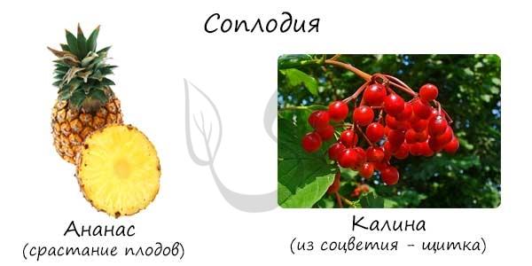 Соплодия растений