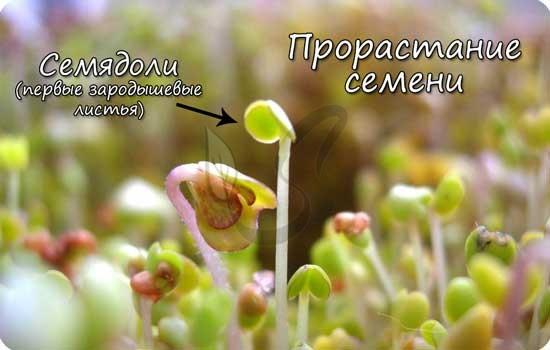 компоненты семени пшеницы семенная кожура зародыш егэ