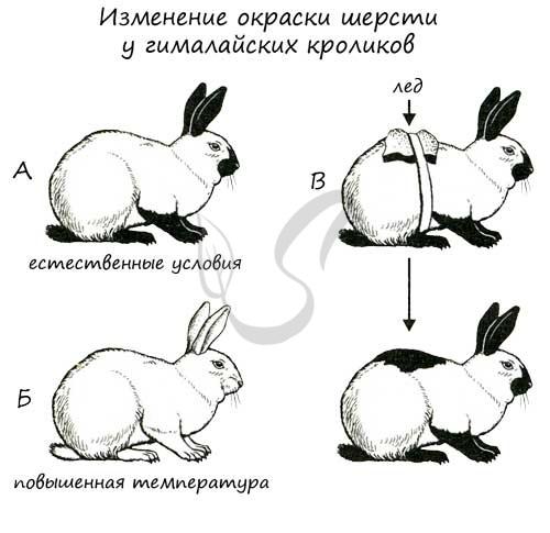 Изменения окраски шерсти у гималайских кроликов