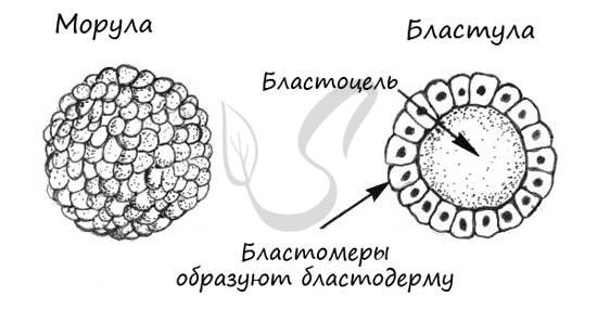 Бластула и морула