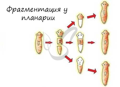 Фрагментация у планарии