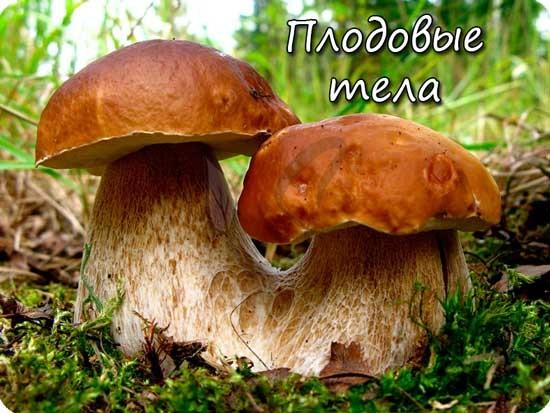 Плодовые тела грибов