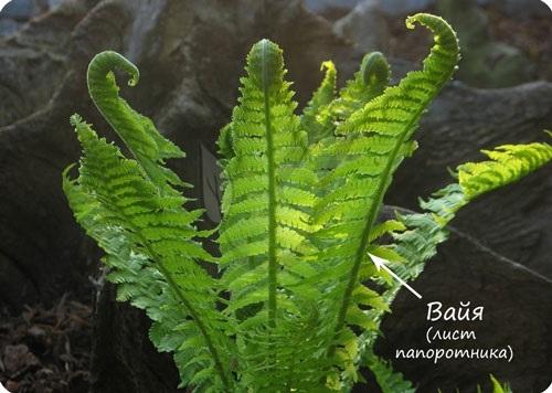 Всё о бегониях и не только- Споры растений, спорогенез, спорангий, спорофит
