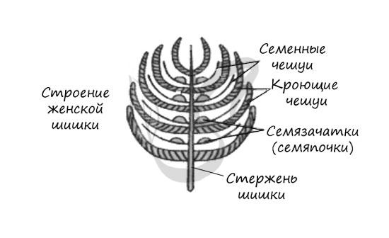 Строение женской шишки