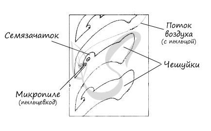 Микропиле в женской шишке