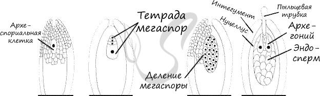 Женский гаметофит голосеменных