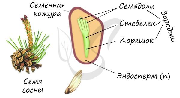 Семя голосеменных