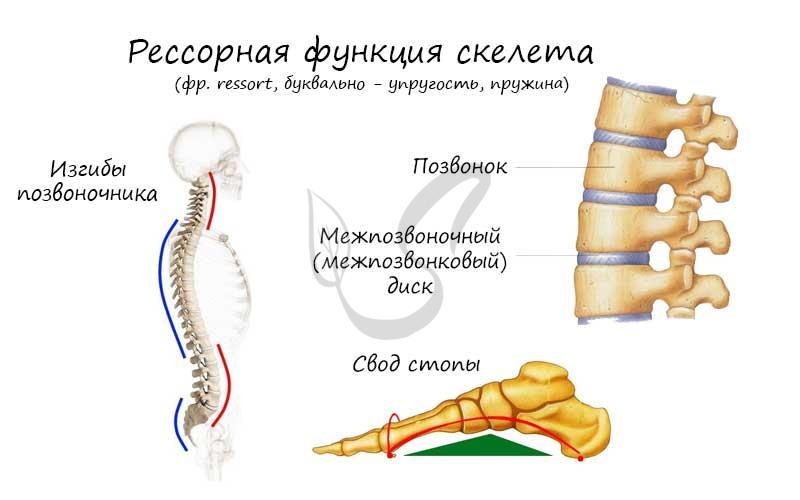 Рессорная функция скелета