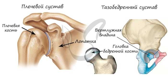 Плечевой и тазобедренный суставы
