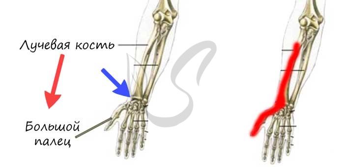 Лучевая кость на рисунке