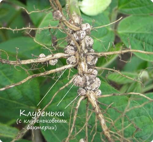 Клубеньки видоизменение корня