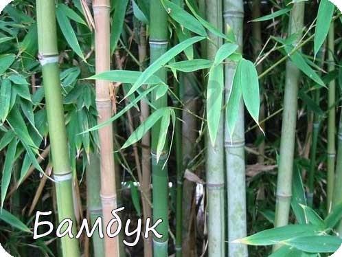 Бамбук семейство злаковые