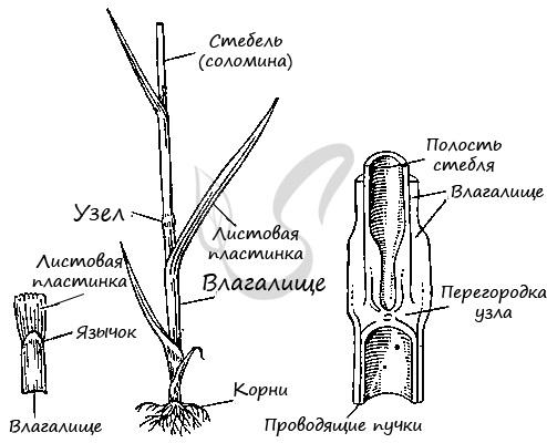 Стебель соломина злаковых
