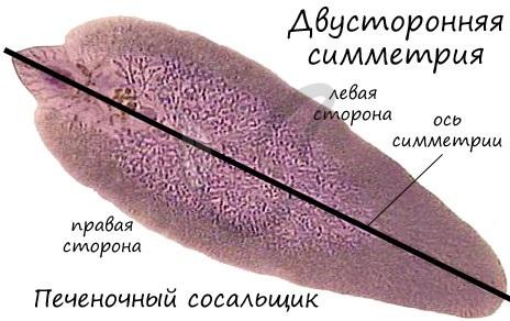 Двусторонняя симметрия плоских червей