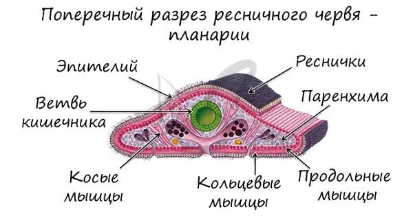 Мезодерма плоских червей