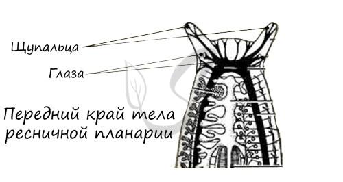 Передний край тела плоских червей
