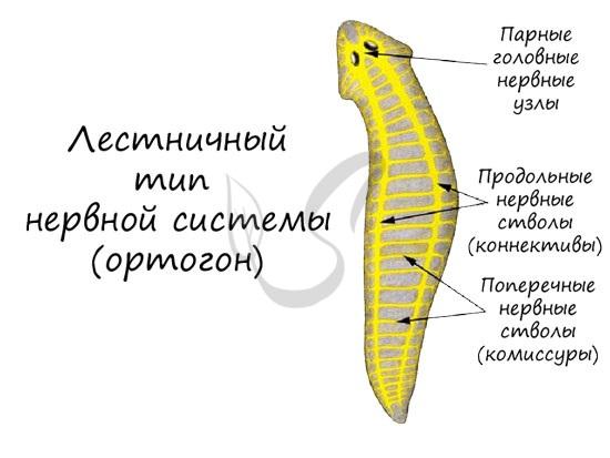 Лестничный тип нервной системы
