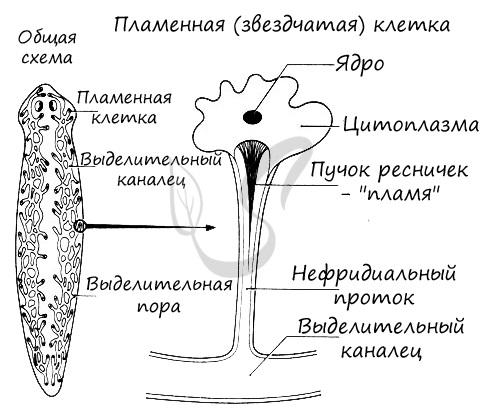 Строение протонефридия