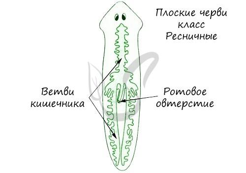 Пищеварительная система плоских червей