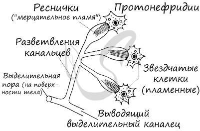 Протонефрдии плоских червей
