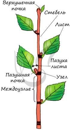 Узлы и междоузлия растения