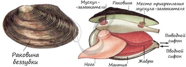 Строение двустворчатого моллюска