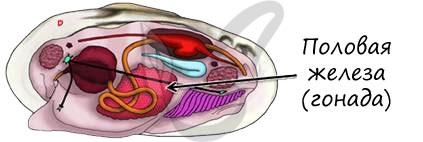 Половая железа