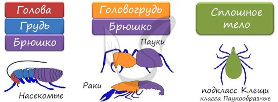Сегменты тела членистоногих