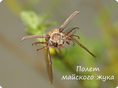 Способность к полету у насекомых